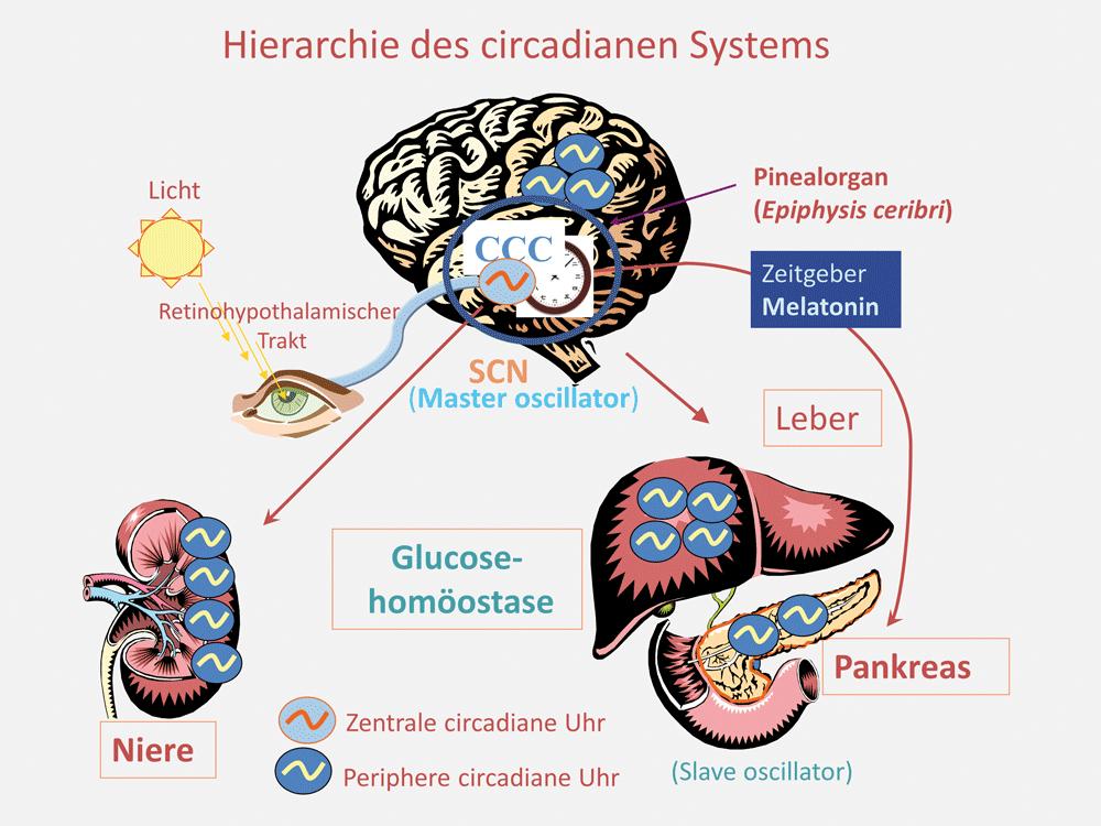 Ausgezeichnet Pankreas Und Leber Galerie - Menschliche Anatomie ...